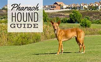 Pharaoh Hound in field (caption: Pharaoh Hound Guide)
