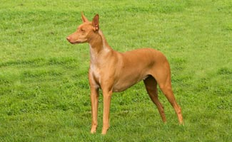 Pharaoh hound on the grass