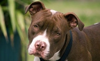 pit bull facts and why we love this dog caninejournal com