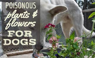 Dog sniffying flowering plant (caption: Poisonous Plants For Dogs)