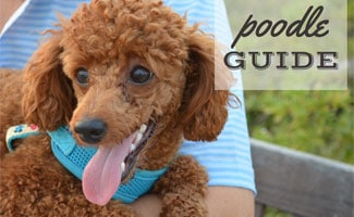 Brown Poodle in girl's lap: Poodle Guide