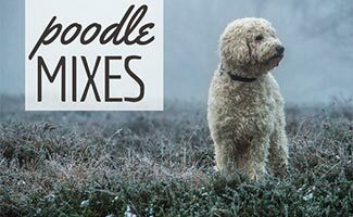 White doodle mix outside in cold weather (Caption: Poodle Mixes)