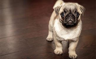 Puggle puppy