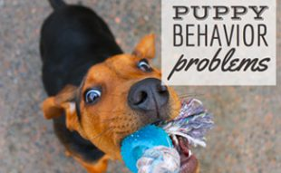 Puppy chewing on toy: Puppy Behavior Problems