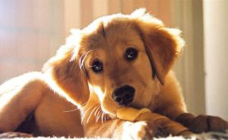 Puppy with rawhide bone