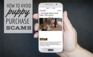 Man holding smartphone with Craiglist ad for puppy (caption: How To Avoid Puppy Purchase Scams)
