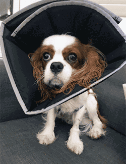 Dog with e-cone on