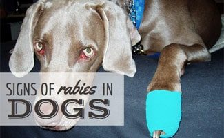 Rabies Symptoms in Dogs