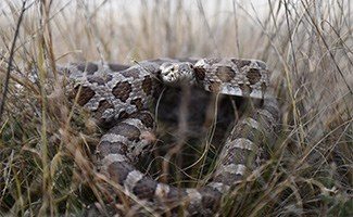 Rattlesnake in grass