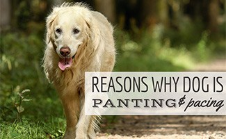 Golden dog panting and pacing in field (Caption: Reasons Why Dog Is Panting & Pacing)