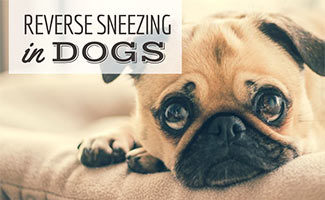 Pug looking sad on couch (caption: Reverse Sneezing In Dogs)