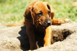 Rhodesian Ridgeback Digging Hole in Yard