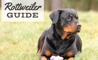 Rottweiler laying in grass