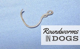 Roundworms under microscope (caption:Roundworms In Dogs)