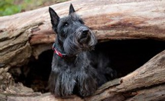 Scottish Terrier in a Hollow Log