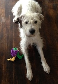 Walter with Toy from Barkbox