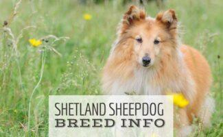Sheltie in field with flowers (Caption: Shetland Sheepdog Breed Info)