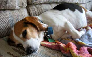 Sick Beagle on couch