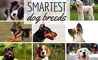 Smartest Dog Breeds (caption: Smartest Dog Breeds)