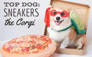 Sneakers the Corgi in pizza box