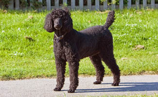 Black standard poodle standing on sidewalk