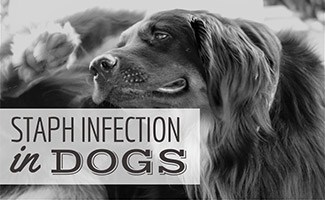 Dog scratching ear (caption: Staph Infection In Dogs)