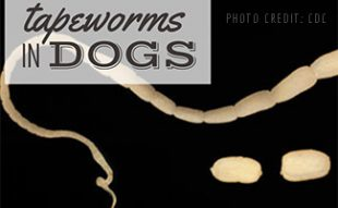 Tapeworm under microscope (caption: Tapeworms In Dogs)