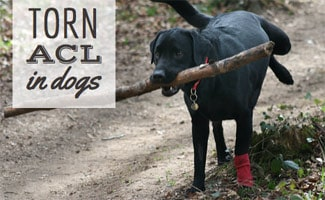 Torn ACL in Dogs