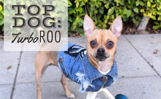 Interview with TurboRoo the Two-Legged Chihuahua