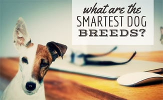 Dog next to computer: What Are The Smartest Dog Breeds?