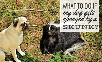 Pug next to skunk (Caption: What Do I Do If My Dog Gets Sprayed By A Skunk)