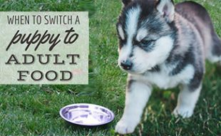 Puppy next to food bowl (caption: When To Switch A Puppy To Adult Food)
