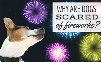 Dog looking at fireworks (caption: Why Are Dogs Scared Of Fireworks?)