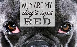 Dog with red eyes (caption: Why Are My Dog's Eyes Red?)