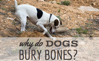 Why Do Dogs Bury Bones?