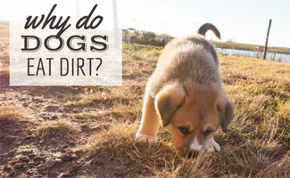 Puppy sniffing dirt (caption: Why do dogs eat dirt?)