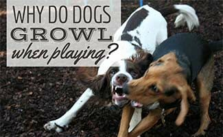 Dogs playing (Caption: Why Do Dogs Growl When Playing?)