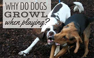 Two dogs playing rough (Caption: Why Do Dogs Growl When Playing?)