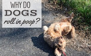 Dog rolling on ground in poop (caption: Why Do Dogs Roll In Poop?)