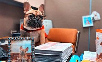 Wilbur Beast French Bulldog at desk