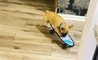 Wilbur Beast French Bulldog on skateboard