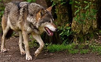 Wolf walking in woods
