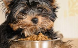 Yorki Eating Dog Food