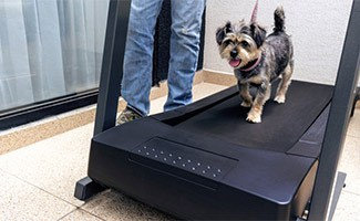 Yorkie on treadmill with person next to them