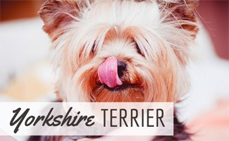 Yorkshire Terrier licking its nose