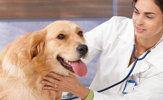 Young Female Vet Examining a Golden Retriever
